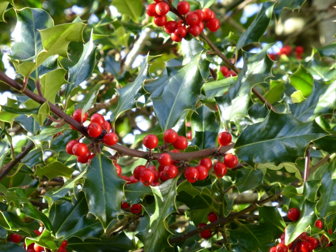 'Red Beauty' Holly Berries