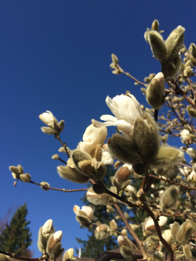 Magnolia Stellata in early March