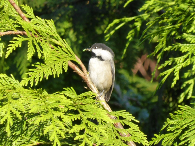 Black Capped Chickadee in Thuja Plicata