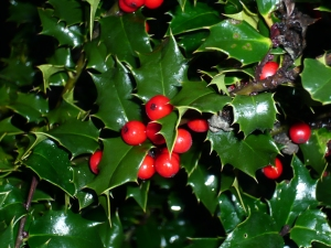 """Red Beauty"" Holly"