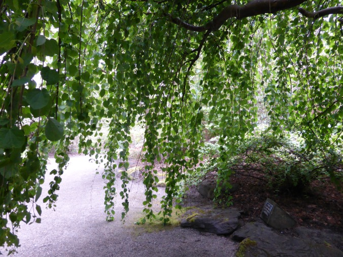 Weeping Katsura makes a natural playhouse - view from inside