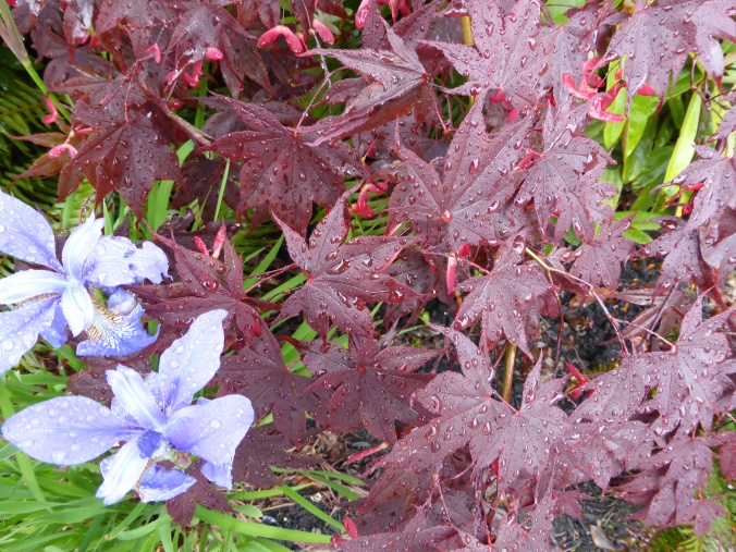 Bloodgood leaves and Siberian Iris