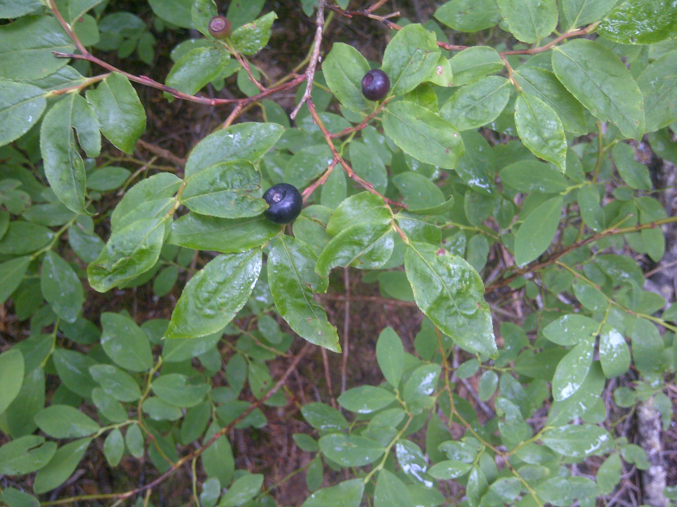 Native Plants With Edible Berries My Woodland Garden