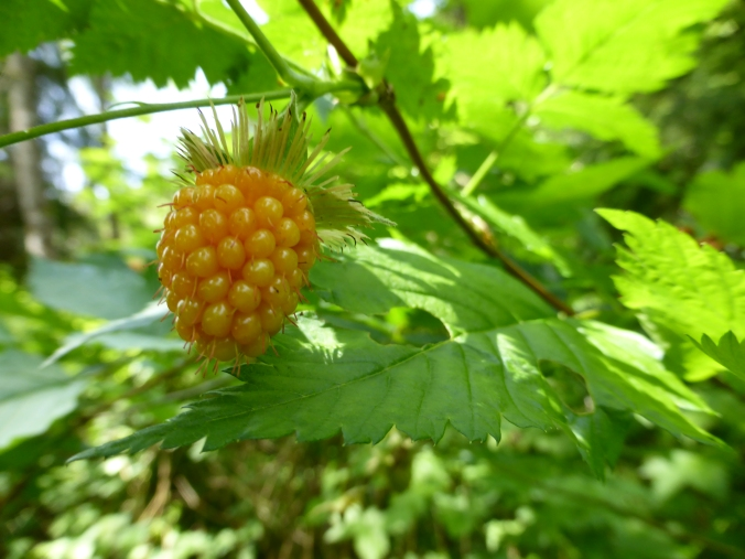 Salmonberry - mature yellow fruit