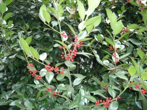 "Holly Berries ""J C Van Tol"""