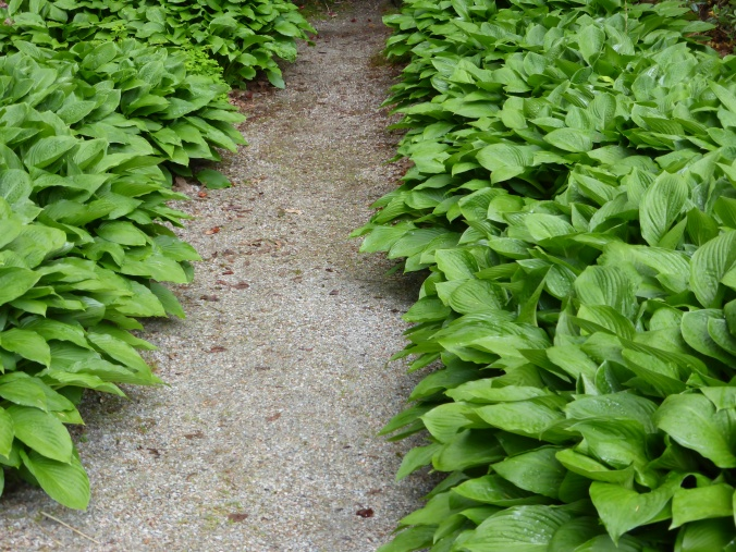 Hosta Hedge