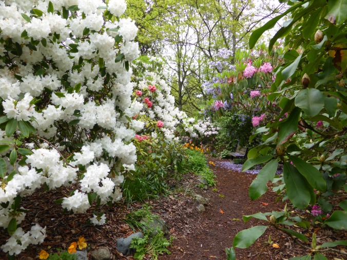 Rhododendron mixed hedge