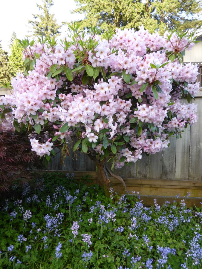 Pink Rhododendron and Bluebells
