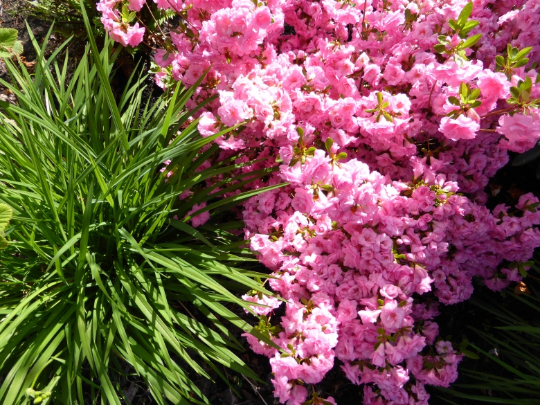 Azaleas and Rhododendrons are toxic