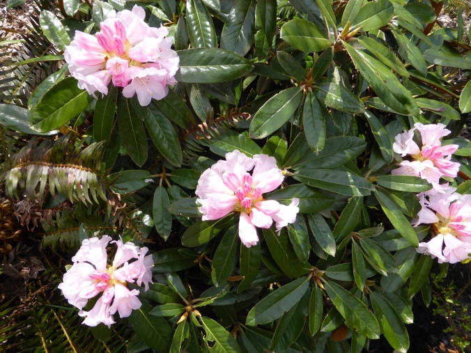 Teddy Bear Rhododendron Blossoms