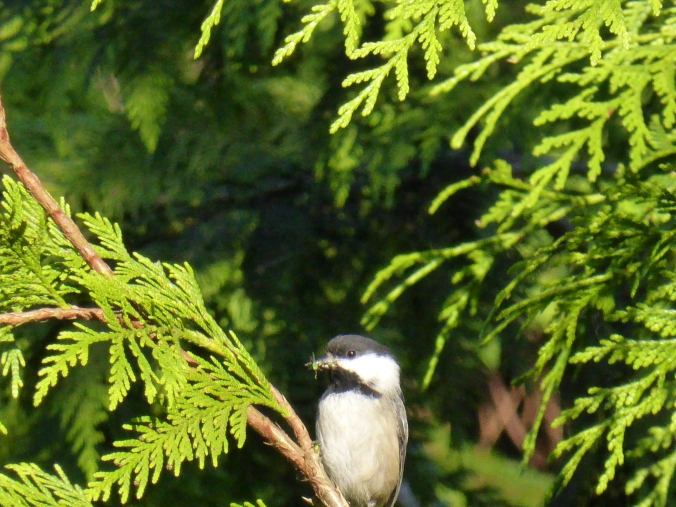 Black Capped Chickadee with bug in Western Red Cedar