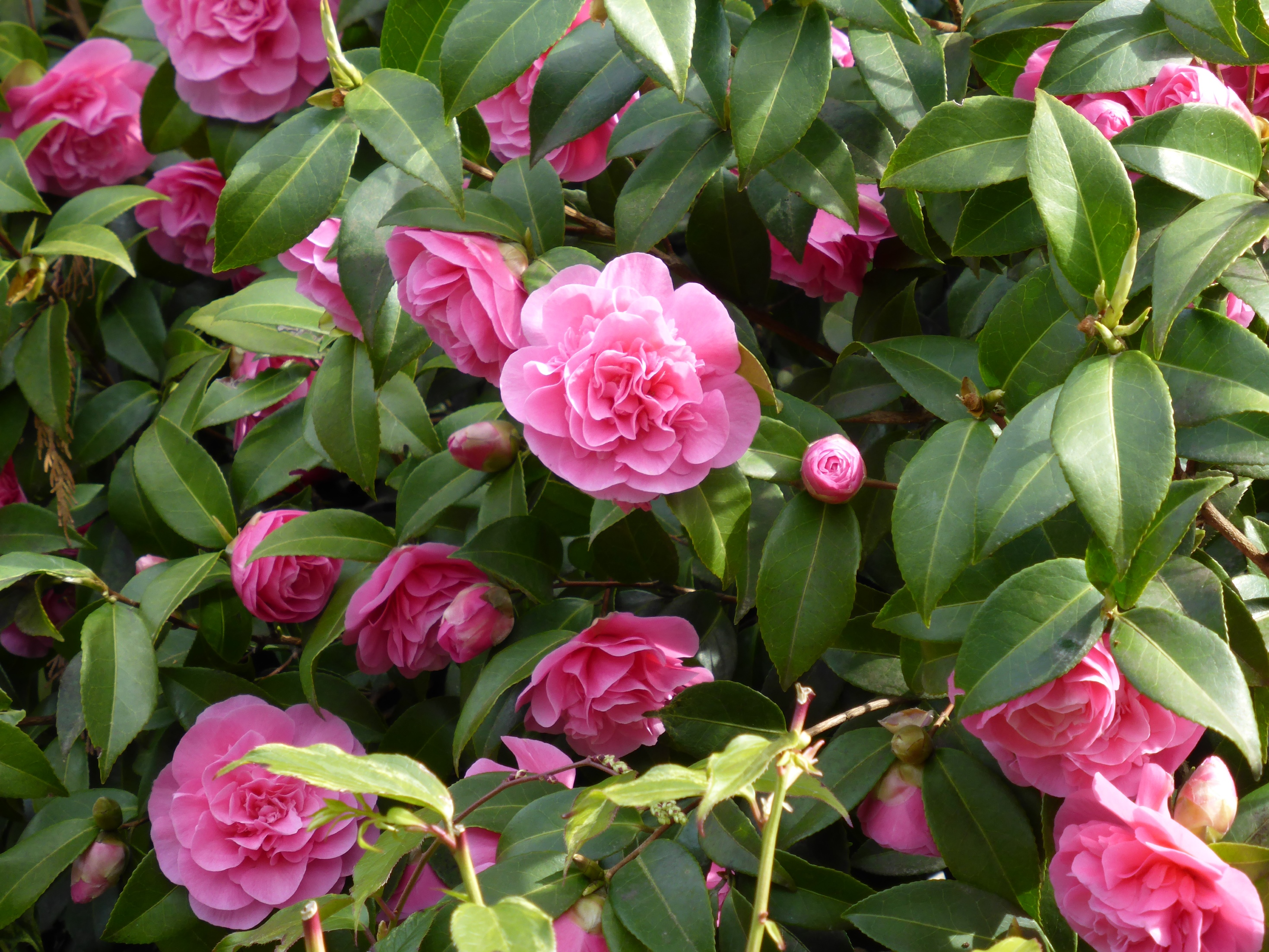How To Choose Camellias My Woodland Garden