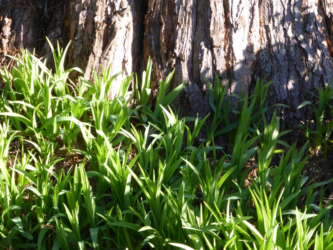 Daylilies emerging in front of Sequoia