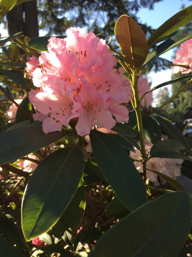 Christmas Cheer Rhododendron