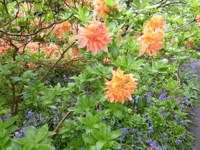 Deciduous Azalea and English Bluebells show complimentary colours