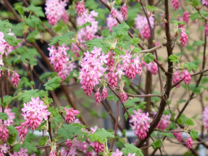 Red Flowering Currant (Ribes sanguineum)
