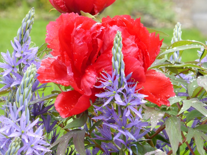 Red Tree Peony with Camas