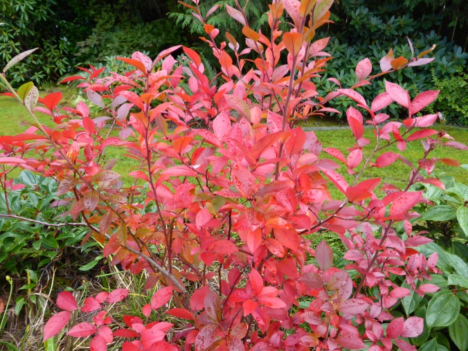 'Reka' Highbush Blueberry Fall Color